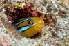 the ewa fangblenny, Plagiotremus ewaensis, mimics the Hawaiian cleaner wrasse, Labroides phthirophagus, Hawaii ( Central Pacific Ocean )
