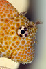 shortbodied blenny or Pao'o kauila ( H ), Exallias brevis, Hawaii ( Central Pacific Ocean )