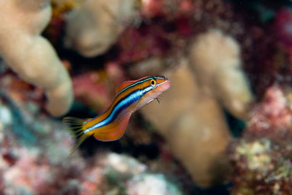 ewa fangblenny, Plagiotremus ewaensis, Hawaii ( Central Pacific Ocean )