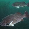 Blue Rockfish, Sebastes mystinus