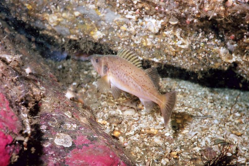 Rendezvous House Reef, Bocaccio Rockfish, YOY Rockfish, 576