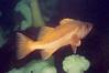 Bocaccio Rockfish, Diplock Reef, Diplock Reef Barkley Sound, 324