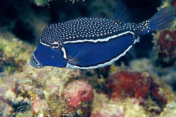 male Whitley's trunkfish, Ostracion whitleyi, Big Island of Hawaii ( Central Pacific Ocean )