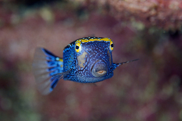 male spotted boxfish, Ostracion meleagris, Big Island of Hawaii ( Central Pacific Ocean )
