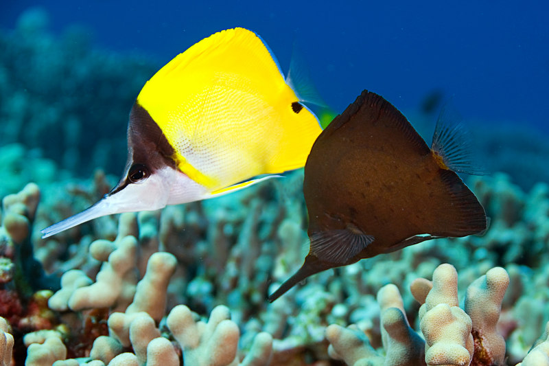 longnose butterflyfish or lau wiliwili nukunuku 'oi'oi (H), Forcipiger longirostris, <br /> in both the normal color phase and the less common dark phase,<br /> Pu'u Honua o Honaunau, Hawaii ( Central Pacific Ocean )<br /> 2