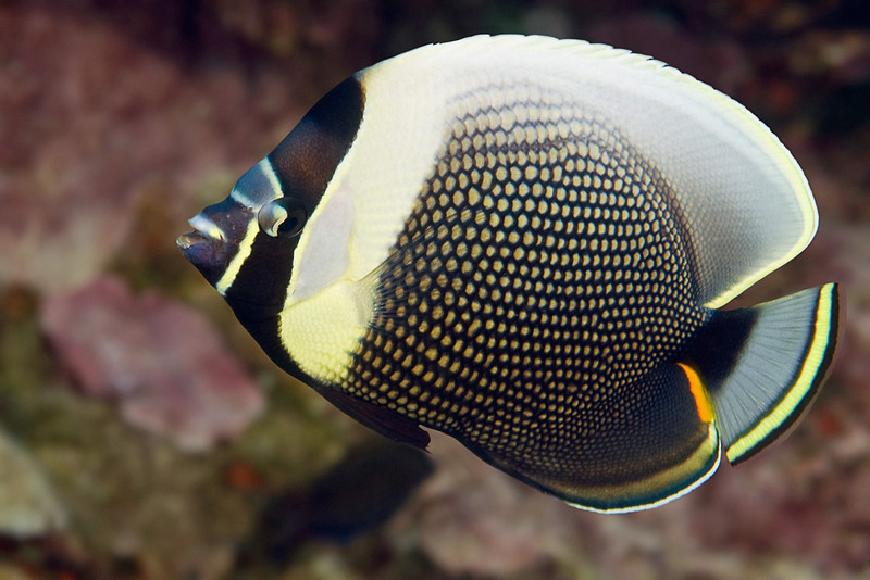 reticulated butterflyfish,  Chaetodon reticulatus, is a monogamous fish usually seen in pairs, Kona, Hawaii ( Central Pacific Ocean )