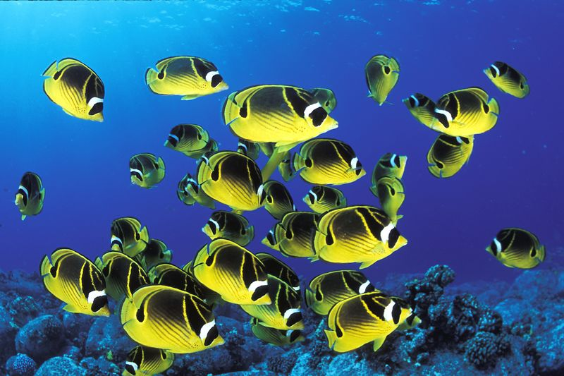 "school of raccoon butterflyfish or "" kikakapu "" (H),  Chaetodon lunula, "" Eel Cove ""<br /> Kona, Hawaii ( Central Pacific Ocean )<br /> 1"