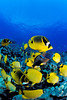 school of milletseed butterflyfish or lau wiliwili (H), Chaetodon miliaris, and raccoon butterflyfish or kikakapu (H),  Chaetodon lunula, aggregate on the reef, Kaiwi Point, Kona, Hawaii ( Central Pacific Ocean )
