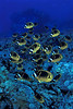 "school of raccoon butterflyfish or "" kikakapu "" (H),  Chaetodon lunula, race across the reef, "" Eel Cove ""<br /> Kona, Hawaii ( Central Pacific Ocean )<br /> 1"
