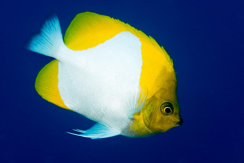 pyramid butterflyfish, Hemitaurichthys polylepis, Kona, Hawaii ( Central Pacific Ocean )