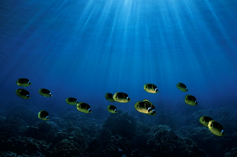 "school of raccoon butterflyfish or "" kikakapu "" (H),  Chaetodon lunula, Manta Ray Bay,<br /> Kona, Hawaii ( Central Pacific Ocean )<br /> 1"