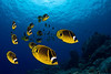 school of raccoon butterflyfish or kikakapu (H),  Chaetodon lunula, Kona, Hawaii ( Central Pacific Ocean )