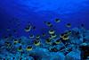 "school of raccoon butterflyfish or "" kikakapu "" (H),  Chaetodon lunula, race across the reef, "" Eel Cove ""<br /> Kona, Hawaii ( Central Pacific Ocean )<br /> 1"