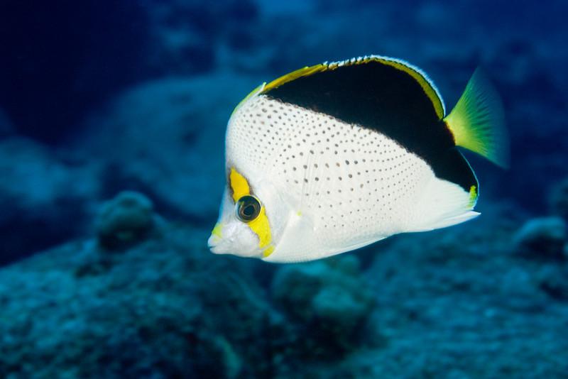 Tinker's butterflyfish, Chaetodon tinkeri, Kona, Hawaii ( Central Pacific Ocean )
