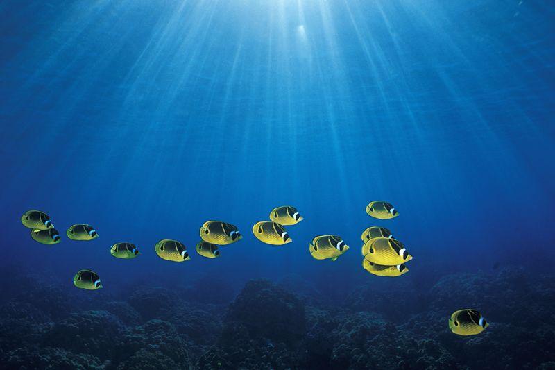 "school of raccoon butterflyfish or "" kikakapu "" (H),  Chaetodon lunula, "" Manta Ray Bay ""<br /> Kona, Hawaii ( Central Pacific Ocean )<br /> 1"