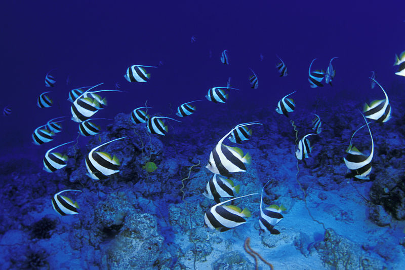 school of pendant butterflyfish or bannerfish,  <br /> Heniochus diphreutes, race across the reef, <br /> Pine Trees, Kona, Hawaii ( Central Pacific Ocean )<br /> 1