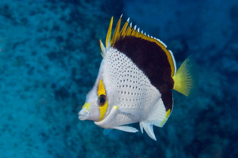 Tinker's butterflyfish, Chaetodon tinkeri, Kona, Hawaii ( Central Pacific Ocean )