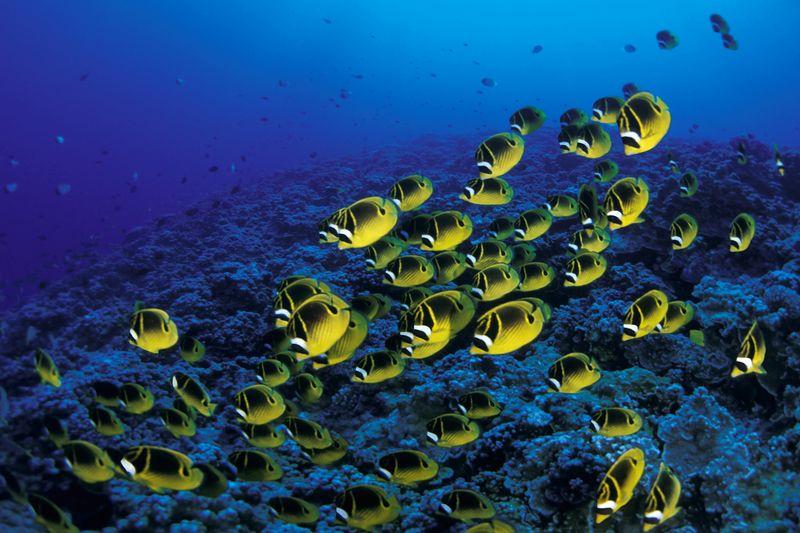 "school of raccoon butterflyfish or "" kikakapu "" (H),  Chaetodon lunula, race across the reef, Molokini crater,<br /> Maui, Hawaii ( Central Pacific Ocean )<br /> 1"