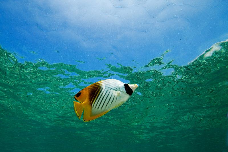 threadfin butterflyfish or kikakapu (H),  Chaetodon auriga, Kahalu'u Beach Park, Kona, Hawaii ( Central Pacific Ocean )<br /> 1