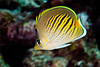 sunset butterflyfish , Chaetodon pelewensis, <br /> Fiji, South Pacific Ocean