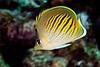 sunset butterflyfish , Chaetodon pelewensis, <br /> Fiji, South Pacific Ocean