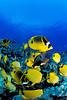 school of milletseed butterflyfish or lau wiliwili (H), Chaetodon miliaris, and raccoon butterflyfish or kikakapu (H),  Chaetodon lunula, aggregate on the reef, Kaiwi Point, Kona, Hawaii ( Central Pacific Ocean )