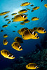 school of raccoon butterflyfish or kikakapu (H),  Chaetodon lunula, race across the reef, Eel Cove, Kona, Hawaii ( Central Pacific Ocean )