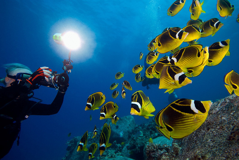 photographer and school of raccoon butterflyfish or kikakapu (H),  Chaetodon lunula, Eel Cove, Kona, Hawaii ( Central Pacific Ocean )