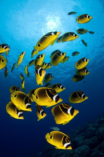 school of raccoon butterflyfish or kikakapu (H),  Chaetodon lunula, race across the reef, Eel Cove, Kona, Hawaii ( Central Pacific Ocean )