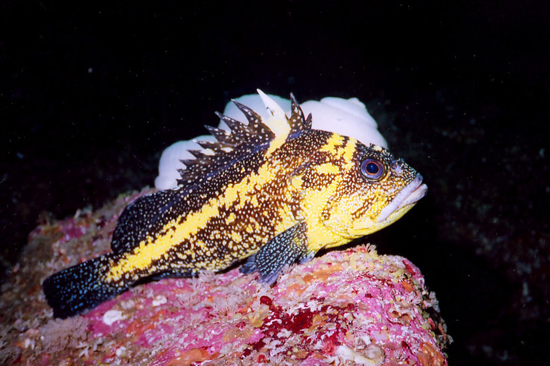 China Rockfish, Renate's Reef, Renate's Reef Barkley Sound, 572