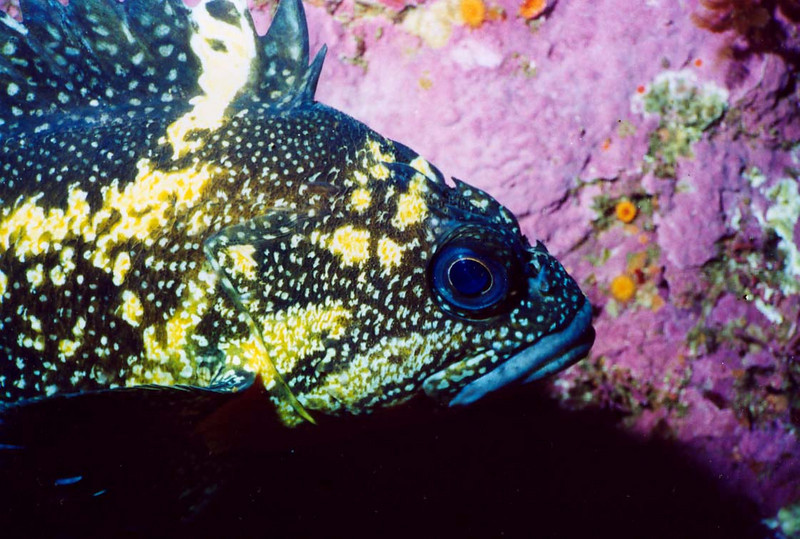 China Rockfish, Inner Ocean Pinnacles Monterey, 517