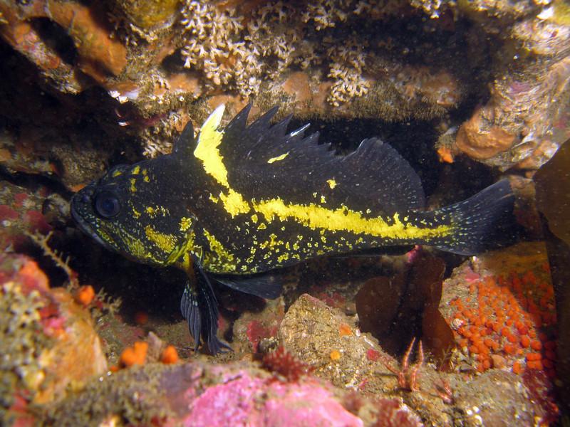 China Rockfish, Koitlah Point Neah Bay, 714