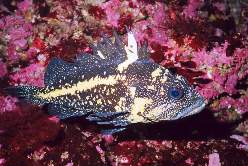 China Rockfish, Kyen Point Barkley Sound, 570