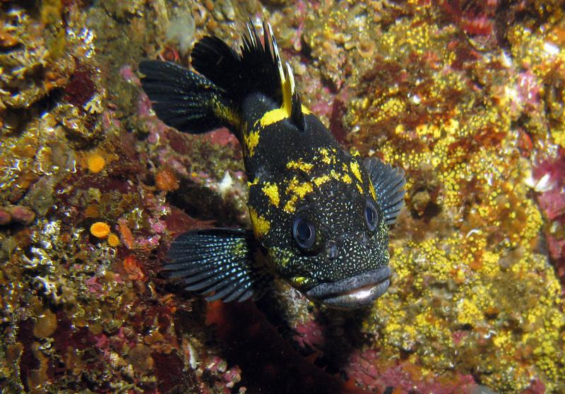 China Rockfish, Tyler Rock Barkley Sound, 724