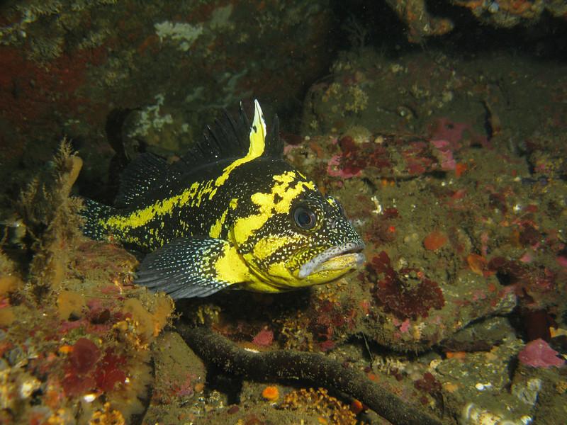 China Rockfish, Waadah Island Raceway Neah Bay, 777