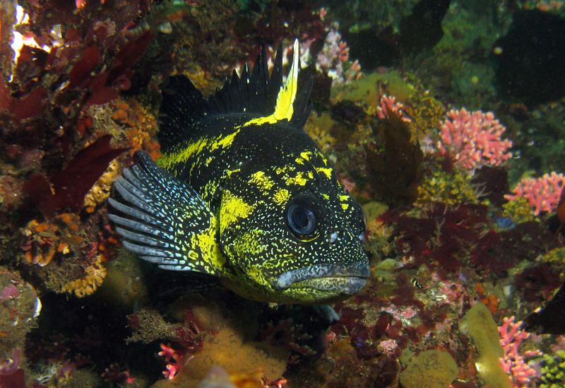 China Rockfish, Slant Rock Neah Bay, 774