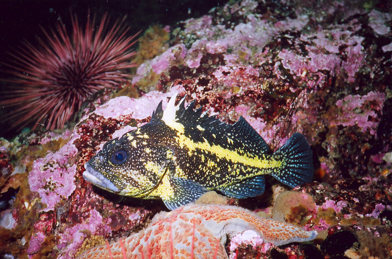 China Rockfish, Kyen Point Barkley Sound, 571