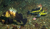 Quillback Rockfish, China Rockfish, Slant Rock Neah Bay, 774
