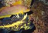 China Rockfish, Kelp Greenling Female, Renate's Reef Barkley Sound, 263