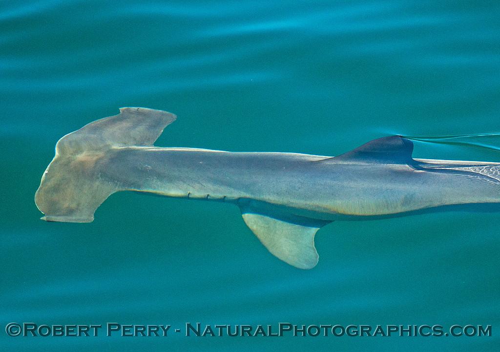 Sphyrna zygaena hammerhead shark 2016 08-18 SB Channel-107