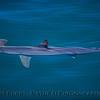 Sphyrna zygaena hammerhead shark 2016 08-18 SB Channel-132
