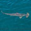 Sphyrna zygaena hammerhead shark 2016 08-18 SB Channel-264