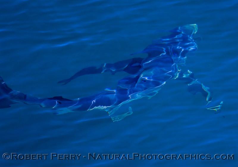Blue shark - Prionace glauca.
