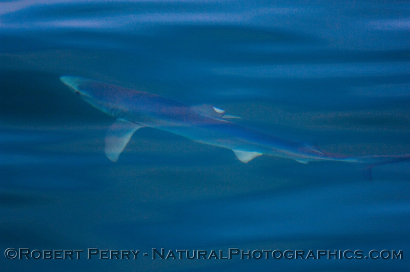 Blue shark - Prionace glauca.