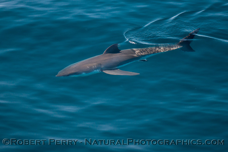 Isurus oxyrinchus Mako Shark 2013 08-09 SB Channel-074