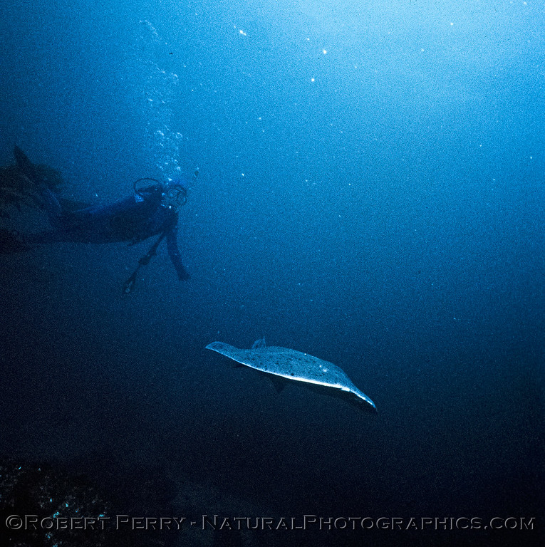 Torpedo californica-Suellen--Log 1088-1985-01-Anacapa-001