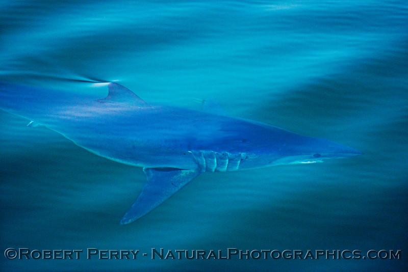 Isurus oxyrinchus Mako Shark UW 2013 07-13 SB Channel-ACS-162