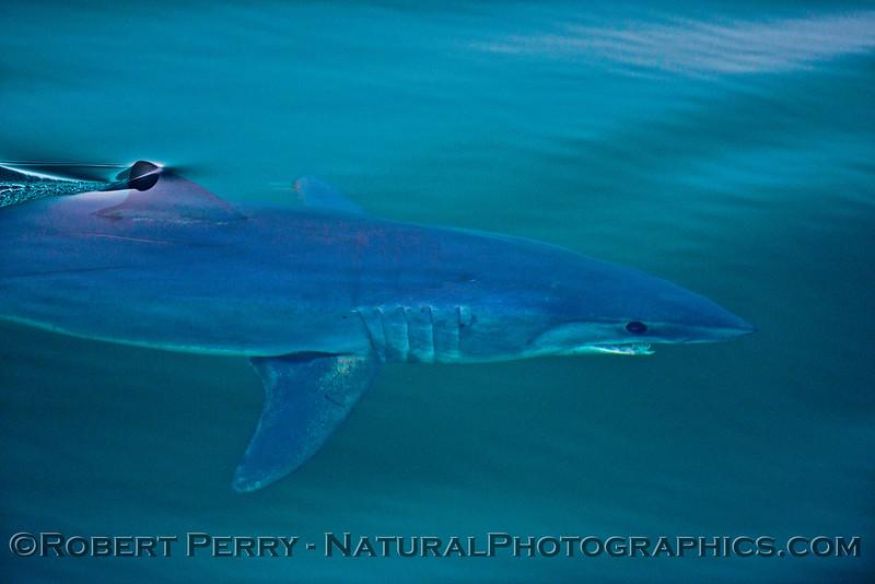 1-Isurus oxyrinchus mako shark uw 2013 07-13 SB Channel-ACS-241