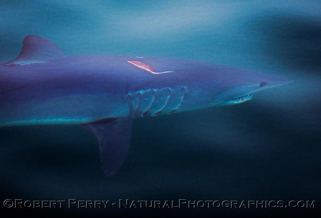 3-Isurus oxyrinchus Mako Shark UW & gash on back 2013 07-13 SB Channel-ACS-063