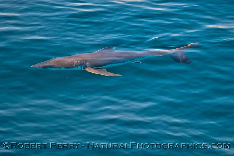 Isurus oxyrinchus Mako Shark 2013 08-09 SB Channel-084